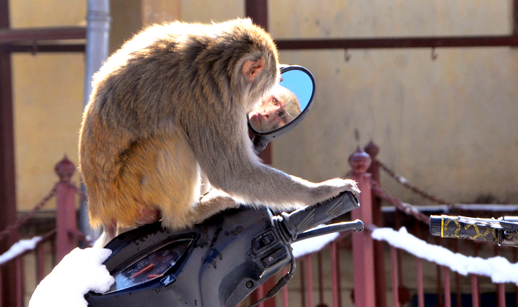 TOPSHOTS  A monkey plays with a mirror on a scooter in the northern hill town of Shimla on February 16, 2014. Thousands of monkeys live on the rooftops of Shimla and despite being considered a nuisance they cannot be killed because many Indians consider monkeys sacred.  AFP PHOTO