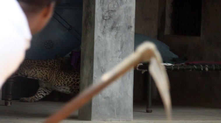 Gurgaon, India, November 24: A Leopard entered in village Mundawala near Sohna on Thursday early morning, leopard injured around ten villagers, after that villagers killed leopard, in Gurgaon, on Thursday, November 24, 2016. Photo by Manoj Kumar