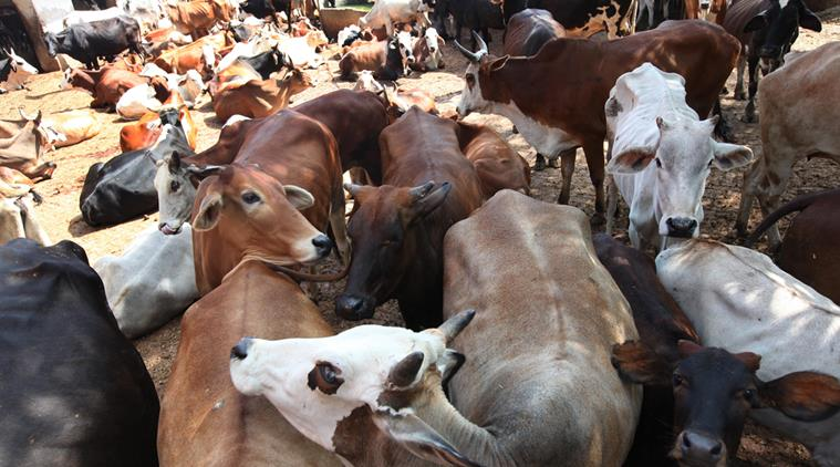 cow-cattle7591