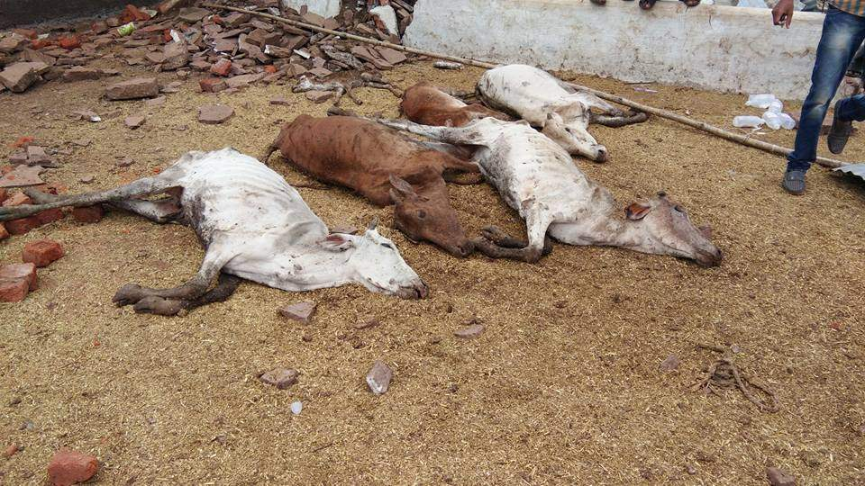 chattisgarh_cow_death-eps