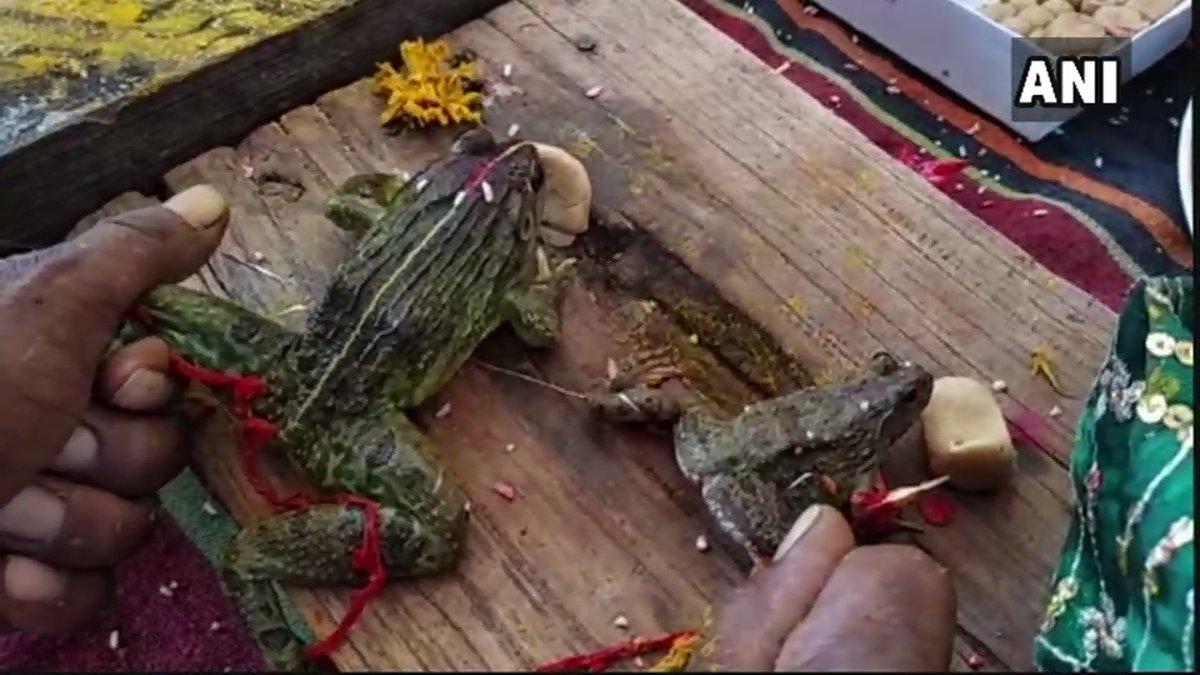 മധ്യപ്രദേശില് മഴ ലഭിക്കാന് മന്ത്രിയുടെ നേതൃത്വത്തില് തവളകളുടെ കല്യാണം നടത്തി